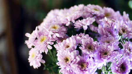 barbatus : close-up, Flower bouquet in the rays of light, rotation, the floral composition consists of purple Chrysanthemum saba. In the background a lot of greenery