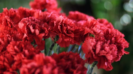barbatus : close-up, Flower bouquet in the rays of light, rotation, the floral composition consists of Bright red turkish Carnation. In the background a lot of greenery
