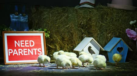 orphans : on the straw, on the hay are walking small chickens, ducklings. In the background a haystack, colored small birdhouses. Studio video with thematic decor.