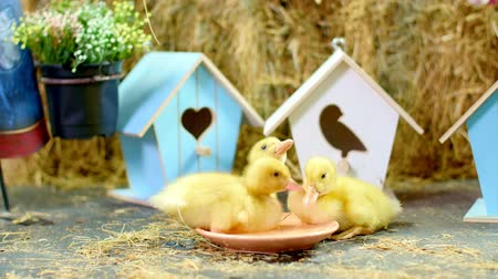 orphans : Close-up, three small yellow ducklings drinking water from a plate . In the background a haystack, colored small birdhouses. Studio video with thematic decor.