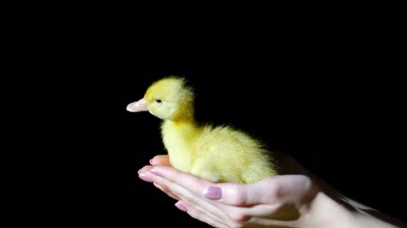 orphans : Close-up, hands catch a falling little yellow duckling. In the dark, on a black background, in a ray of light, Stock Footage