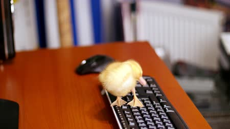 orphans : Close-up, A small yellow duckling is sitting peacefully on the computer keyboard. Walks on it and a desktop in the office.