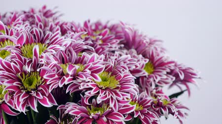 yana : close-up, Flowers, bouquet, rotation on white background, floral composition consists of purple Chrysanthemum saba.