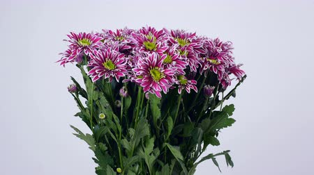 grat : Flowers, bouquet, rotation on white background, floral composition consists of purple Chrysanthemum saba.