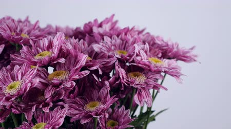 roomy : close-up, Flowers, bouquet, rotation on white background, floral composition consists of purple Chrysanthemum saba.