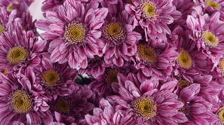 roomy : close-up, view from above, Flowers, bouquet, rotation on white background, floral composition consists of purple Chrysanthemum saba. Stock Footage