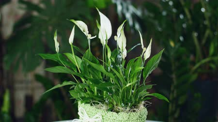 alstroemeria : Flower Spathiphyllum in the rays of light, rotation,