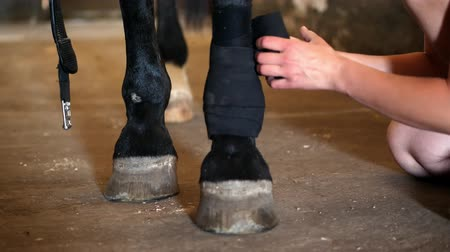 bandaj : Young lady bandaging horses leg. closeup of a black bandages on a purebred black horses leg. Horse legs are protected with bandages lens flares.