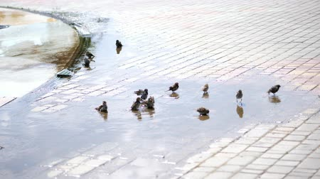 young sparrow : in puddles sparrows swim, splash. summer hot day, at the fountain.