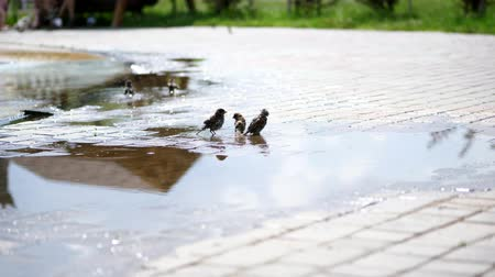 passer by : in puddles sparrows swim, splash. summer hot day, at the fountain.