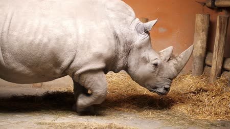 носорог : a rhino, rhinoceros in the zoo, eating hay. slowly walks his own aviary, pavilion Стоковые видеозаписи