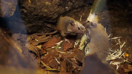 european wood mouse : Wild forest, small mice, rodents, gnaw a branch, a tree on nature. close-up Stock Footage