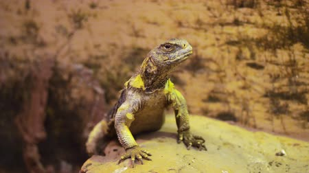 хамелеон : lizard, in the terrarium, behind the glass. close-up