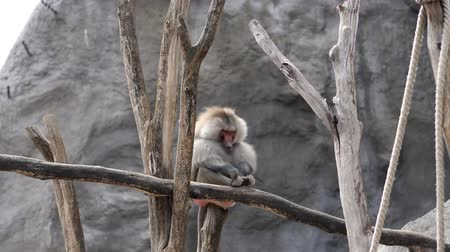 squirrel fur : Hamadryas baboon Monkey sits on the branch, silently scratching his leg. outdoors, summer day