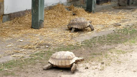 equador : large turtles walk on the ground, in the zoo, Stock Footage
