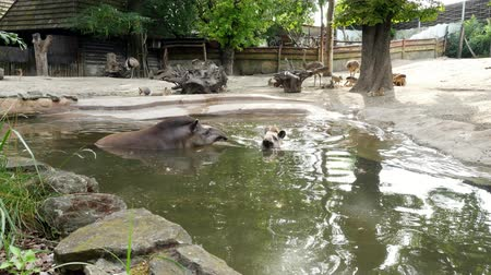 lowland : in the zoo, on a hot summer day, the tapirs walk on the water, near a pond, drink water, bathe