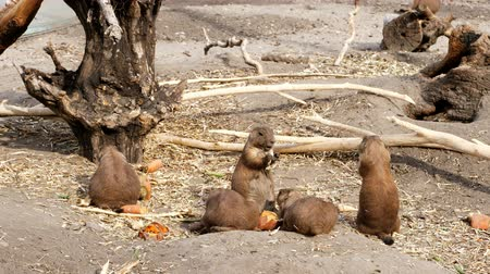 américa do norte : Prairie dogs eating. near logs, old roots, on a hot summer day, Vídeos