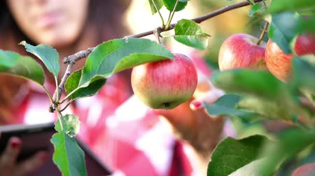 apple orchard : close-up, an apple is hanging on a branch, woman farmer or agronomist examines the harvest of apples, makes notes in the tablet. on farm, in garden. on sunny summer day. Agriculture and gardening concept. Healthy nutrition.