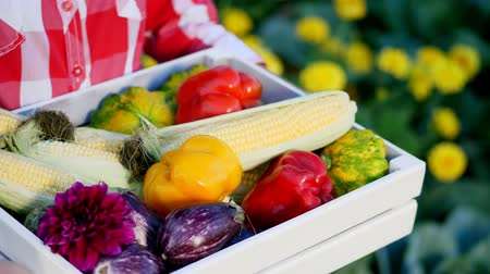 patissons : close-up, a farmer shows in white wooden box the harvest, different fresh vegetables, corn, pepper, aubergines, zucchini, patissons. on a farm, vegetable garden, sunny summer day. Stock Footage