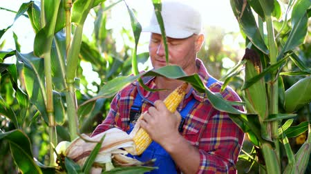 jelölőnégyzetet : farmer in plaid shirt inspecting corn cob, checks the quality of corn at his field on sunny summer day. a background of growing corn. Stock mozgókép