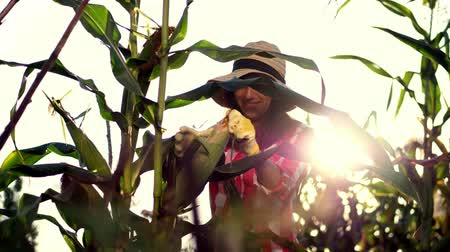 jelölőnégyzetet : smiling female farmer in plaid shirt, gloves and hat inspecting corn cob, cleans corn from leaves, checks quality of corn at her field on sunny summer day. background of growing corn.