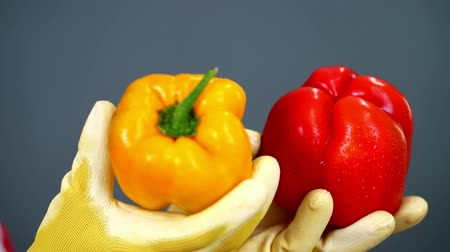 pepř : close-up, female farmers hands in gloves hold a pair of sweet peppers on gray background, in studio, Healthy nutrition concept.