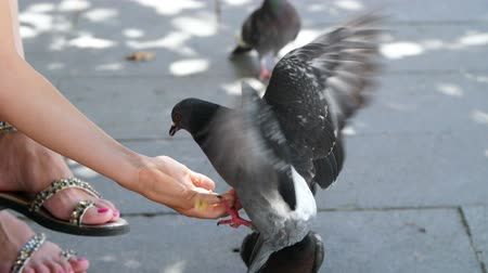 holubice : VENICE, ITALY - JULY 7, 2018: close up, tourists feed pigeons from hands, in Venice. tame pigeons Dostupné videozáznamy