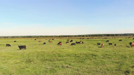 pastoral land : in meadow, on green grassy field, many brown and black pedigree, breeding cows, bulls are grazing. on farm. summer warm day. aero video. breeding, selection of cows, bulls Stock Footage