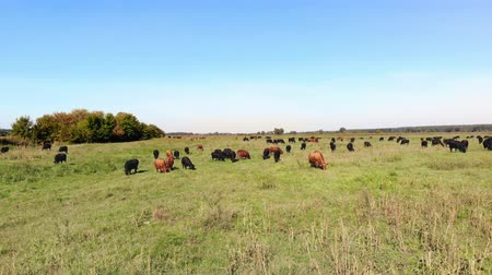 düve : in meadow, on green grassy field, many brown and black pedigree, breeding cows, bulls are grazing. on farm. summer warm day. aero video. breeding, selection of cows, bulls Stok Video