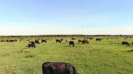 dairy cattle : in meadow, on green grassy field, many brown and black pedigree, breeding cows, bulls are grazing. on farm. summer warm day. aero video. breeding, selection of cows, bulls Stock Footage