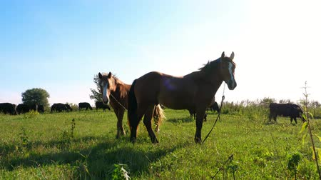 díszgomb : in meadow, on farm, brown horses are grazing. in sun rays, summer day. Stock mozgókép