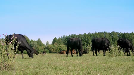 commercial cultivation : in meadow, on farm, big black pedigree, breeding cows, bulls are grazing. summer warm day. Cattle for meat production in pasture. selection of cows, bulls. Stock Footage
