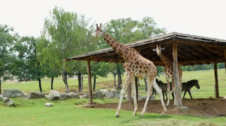 Танзания : curious giraffes in the zoo. Travel in the car. giraffes walking through the green park, chewing.
