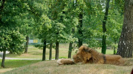kenia : SAFARI PARK POMBIA, ITALY - JULY 7, 2018: Travel in the car in the SAFARI zoo. a big lion with a shaggy mane rests on the grass in the park on a hot summer day.