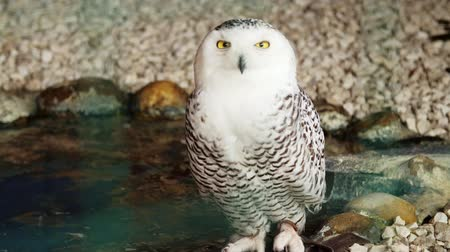 snowy background : close-up, white beautiful big owl with big yellow eyes. Stock Footage