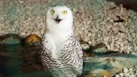 bilge : Close-up, white beautiful big owl with big yellow eyes.