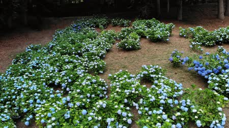 hortênsia : Many blooming blue and white hydrangea bushes grow in the park. aero video filming. Vídeos