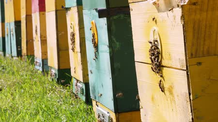 apiary : Bees in the apiary. in the meadow a lot of bee houses, hives are. honey production on farm. The bees swarm alongside hives . natural honey production, organic products. Stock Footage