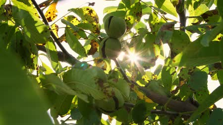 walnut shell : close up. Green european ripe walnuts growing on the tree among leaves, in the light of the sun. walnut trees with ripening walnuts on a large rural plantation Stock Footage