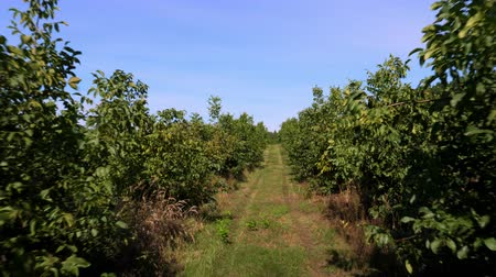 walnut tree : farm, fields of walnut plantations. rows of healthy walnut trees in a rural plantation with ripening walnuts on trees on a sunny day. Stock Footage