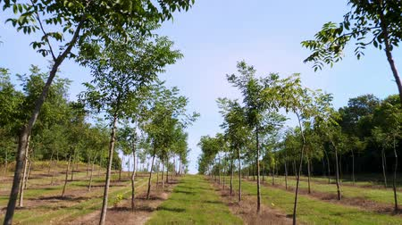 walnut shell : fields, plantations of Foresters unique hybrid nut, designed to produce valuable wood, rows of young healthy nut trees in rural plantation , on a sunny day.