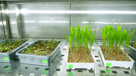 desenvolvimento : growing of young green sprouts in soil, in small boxes, on shelves of a special chamber, in modern smart laboratory. growing germinating seeds of various grains, breeding crops,