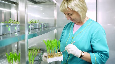 badanie : lab worker reviews growing young green sprouts in soil, in small boxes, on shelves of special chamber, in laboratory. Science laboratory research, biotechnology, GMO concept