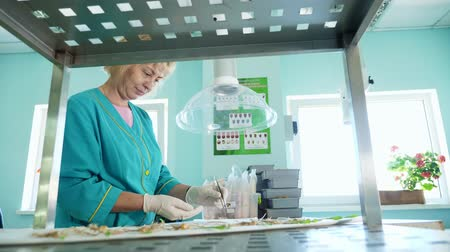 propagação : lab worker studying, examines sprouted, rooted corn seeds, in laboratory. Science laboratory research, biotechnology, GMO concept. germination of seeds of various grains, crops