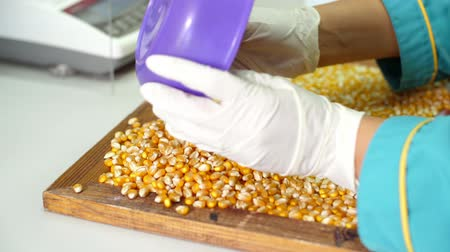 kabuksuz tahıl : Laboratory research of corn seeds. samples of different species, varieties of selection corn. laboratory for the analysis and diagnosis of grain from the field. the cultivation of corn.