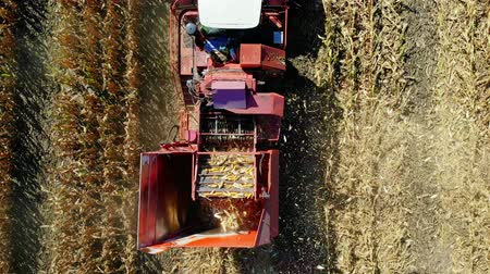 peyzajlı : Aerial top view. combine harvester machine harvesting corn field in early autumn. large red tractor filtering Fresh corncobs from the leaves and stalks. Aerial Agriculture Stok Video