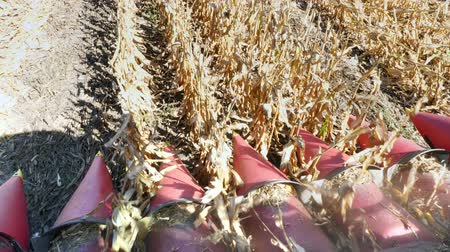 ekili : close up, View from cabin of big red combine harvester machine, filtering Fresh ripe corncobs from the leaves and stalks. harvesting process of corn field in early autumn. Agriculture Stok Video