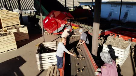 amido : Potato sorting, packing at enterprise. potatoes are unloaded from trucks, and workers are sorting potatoes manually on conveyor belt. potatoes are put in large wooden boxes for packaging.
