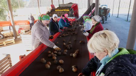 starch : Potato sorting at farm. potatoes are unloaded from trucks, and workers are sorting through potatoes manually on a conveyor belt. potatoes are poured out, put in large wooden boxes for packaging. Stock Footage
