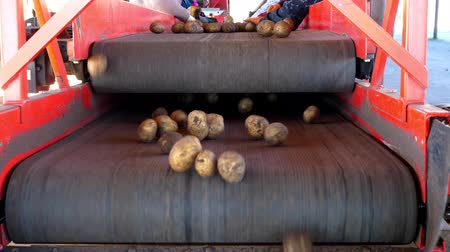 starch : close-up. workers in gloves are sorting through potatoes manually on conveyor belt. potatoes are put in large wooden boxes for packaging. Potato sorting at farm, agricultural production sector.